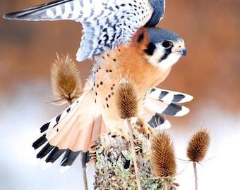 Kestrel - American Kestrel, Digital Photography, Bird Photography, Bird Art, Bird Decor, Whimsical Bird, Winter Bird, Nature, Bird in Flight