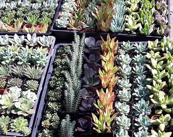 "2"" Succulent Mixed Varieties Flat of 10"