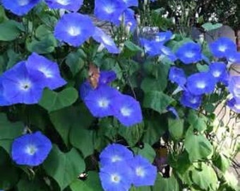 Heavenly Blue Morning Glory Seeds Non-Treated, Clean, USA Produced