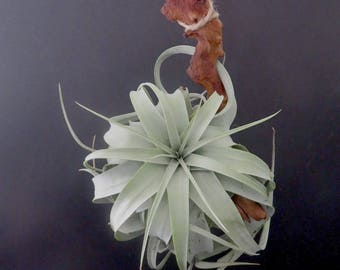 Tillandsia Xerographica Mounted on Mopani Wood With Twine - Air Plant Airplant