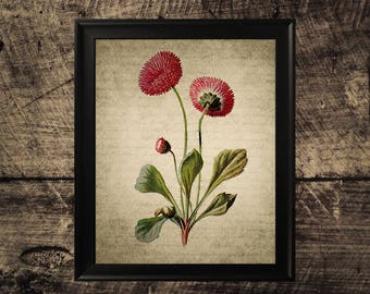 Vintage Daisy flower print, flower decor, vintage botanical wall art,  daisy flower print
