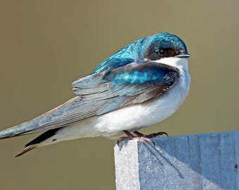 Tree Swallow Photo Print, Large Art Print Nature Photography, Affordable Wall Art