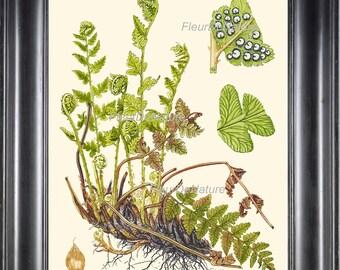 Antique Fern Lindman  Botanical Art Print 4 Antique Beautiful Green Ferns Forest Nature Chart Bedroom Dining Room to Frame Wall Decor