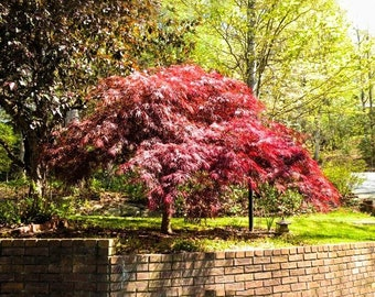 Red Dragon Japanese Maple 2-3 Foot