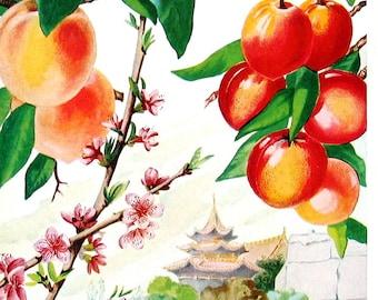 Japanese Plum, Apricots - 1957 Vintage Botanical Print - Book Page Flower Print - 10 x 7
