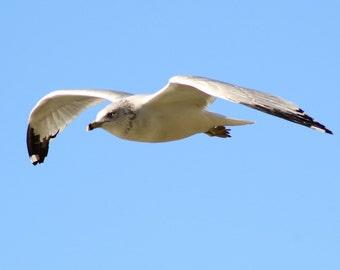 Seagull in flight,beach,bird,flight,soaring,elegant beautiful,nautical,home decor,seaside,flying,magestic