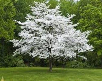 1 Native White Dogwood Seedling