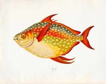 "Vintage Fish ""Opah"" Print 8x10 P216"