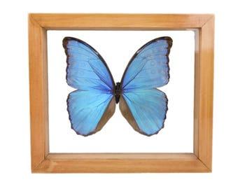 Framed Butterfly: Blue Morpho (1236-G2078)
