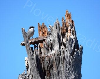 Loggerhead Shrike Photograph // Bird Photography // Florida Nature Photography