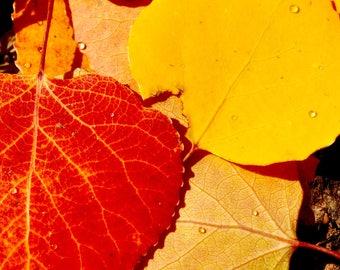 metal photo print of fall Aspen leaves