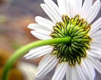 Daisy Photo, Flower Photography, Flower Print, Daisy Picture, Floral Art Print, Fine Art Photography, Home Decor, Nature Photography