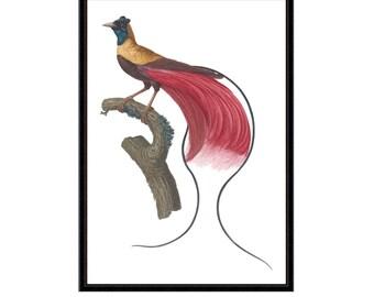 Antique bird print | Bird of Paradise | Zoological Print | vintage bird print | bird illustration | home decor | wall art | litecoin