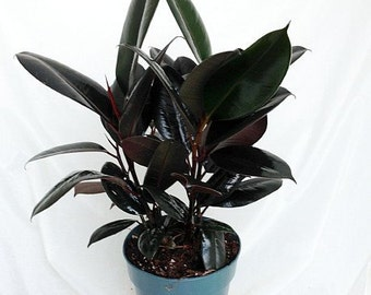 "Burgundy Rubber Tree Plant - Ficus - An Old Favorite - 6"" Pot (FREE SHIPPING)"
