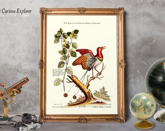Exotic Birds Print, Victorian Bird Art, Parrot Art, King Paradise Bird, Red Bird Print, Gift for Boy Prints, Mens Present Idea - E17p7