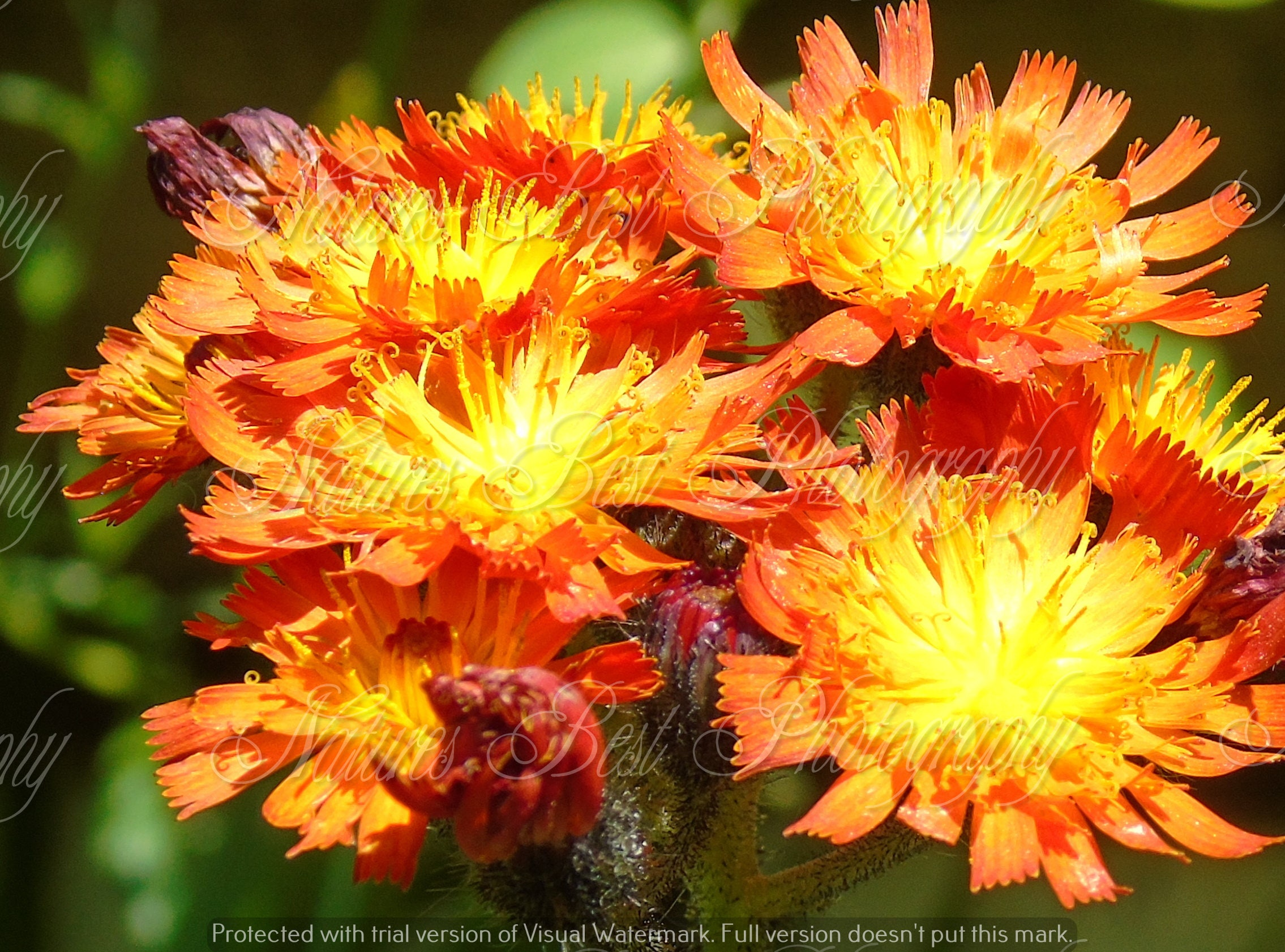 WILD FLOWERS Flower in Full Bloom Orange Yellow Red For Home ...