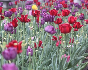 Original Photography Notecard - Blank - Multi Colored Tulips