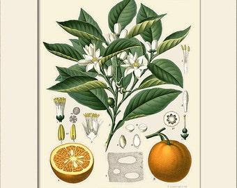 Botanical Print, Orange (Citrus Vulgaris Risso) Plant Print, Art Print with Mat, Note Card, Natural History, Wall Art, Wall Decor