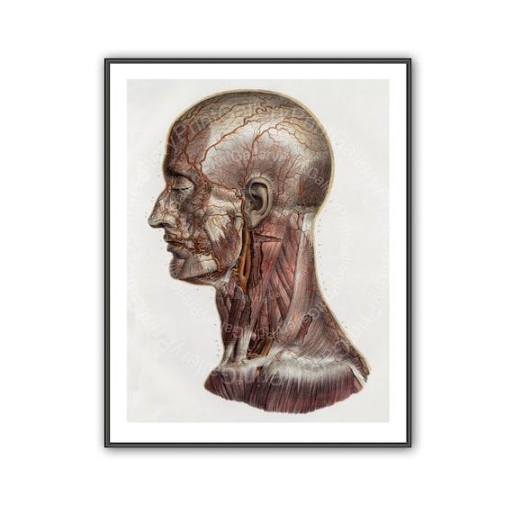 Anatomie Druck menschlichen Kopf Hals Durchblutung antike