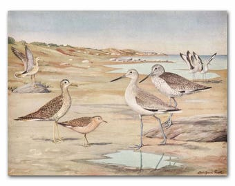"""Sandpipers Art, Beach House Print (Ocean Lover Gift, Vintage Coastal Decor ) --- """"Plover, Sandpipers, Willets"""" No. 31"""