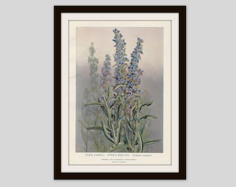 Viper's Bugloss Blueweed Botanical Print Country Cottage Decor Wildflower Art Floral Antique Illustration, Gardener Gift, Botany (ERW138)