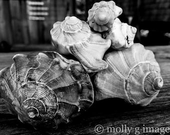 shell photography black and white photography 8x10 11x14 16x20