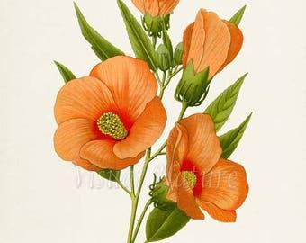 Swamp Rose-mallow Flower Art Print, Botanical Art Print, Flower Wall Art,Flower Print,Flower Art Print,Home Decor,Hibiscus moscheutos,orange