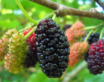 12 Black Mulberry Tree Cuttings - No Roots - Instructions Included - Grow your own fruit - Get one dozen fruit bearing tree cuttings