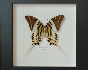 Véritable papillon Graphium androcles en verso, naturalisé et encadré