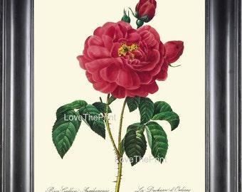 BOTANICAL PRINT Redoute Flower  Botanical Art Print 21 Beautiful Red Rose Plant Garden Nature to Frame Home Decor