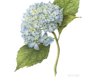 "Hydrangea ""Nikko Blue"", 11x14 botanical print, colored pencil"
