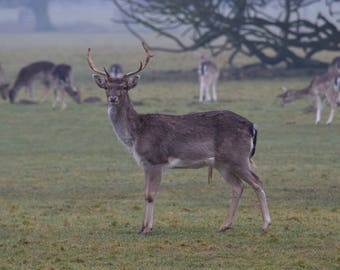 fallow Deer at Holkham Hall. A Photographic Print.