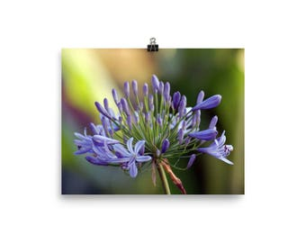 WALL ART - Agapanthus, Rainbow, Flower Photography, Nature Photography, Fine Art Photography, Floral, Flower, Nature, Luster Photo Paper