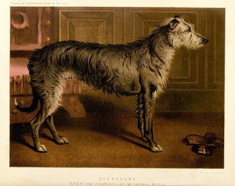 DEERHOUND ANTIQUE Chromolithograph Dog Print 1881 by Vero Shaw Cassells and Company Christmas Thanksgiving Birthday dog illustration gift