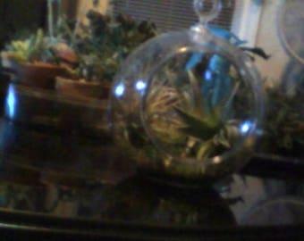 Beautiful Talandsias in an acryllic terrarium