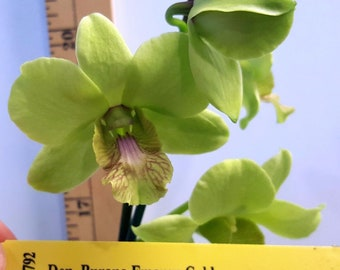 Bin Dendrobium Burana Emaron Gold 2 1/4'' Pot S545 ( 277603 )