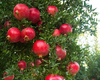 Wonderful Pomegranate Live Rooted Pollinated Ready Fruit Plant 6 Inch Pollinated Tree Granada