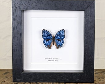 The Brilliant Blue Butterfly in Box Frame (Junonia rhadama)