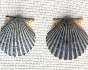 Scallop Shell Earrings - Sea Shell Earrings