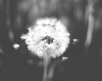 Black and White Photography, Alaska Photography, Nature Photography, Dandelion, Original Fine Art, 8x10 Print