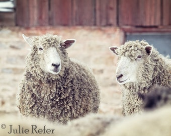 sheep photography, rustic decor, french country, farm animal photography
