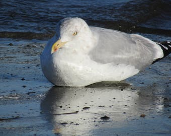 Herring Gull braving the cold Maine winter.