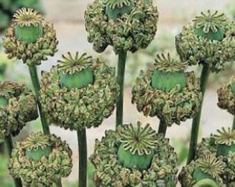 Hen & Chicks Poppy Flower Seeds/Papaver Somniferum/Annual  50+