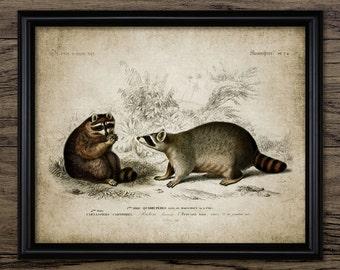 Raccoon Print - Vintage Raccoon Illustration - Raccoons Wall Art - Digital Art - Printable Art - Single Print #223 - INSTANT DOWNLOAD