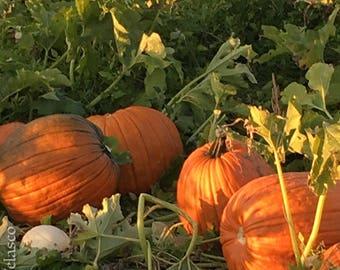 Pumpkin Group 1