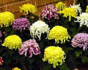 Chrysanthemum Seeds Chrysanthemum Exhibition 100 Seeds
