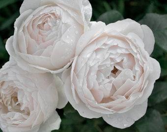 3 Light Pink Roses Photograph