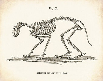 Cat Skeleton - Cat Art - Cat Picture - Cat Drawing - Skeleton Art - Antique Medical - Antique Scientific - Bones - Anatomy - Oddities