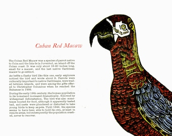Woodcut and Letterpress Extinct Bird Print: Cuban Red Macaw