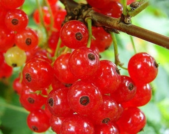 30OFF, Red currant, black currant, bush